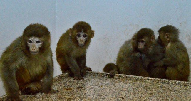 Maymun kaçakçıları gümrükte yakalandı
