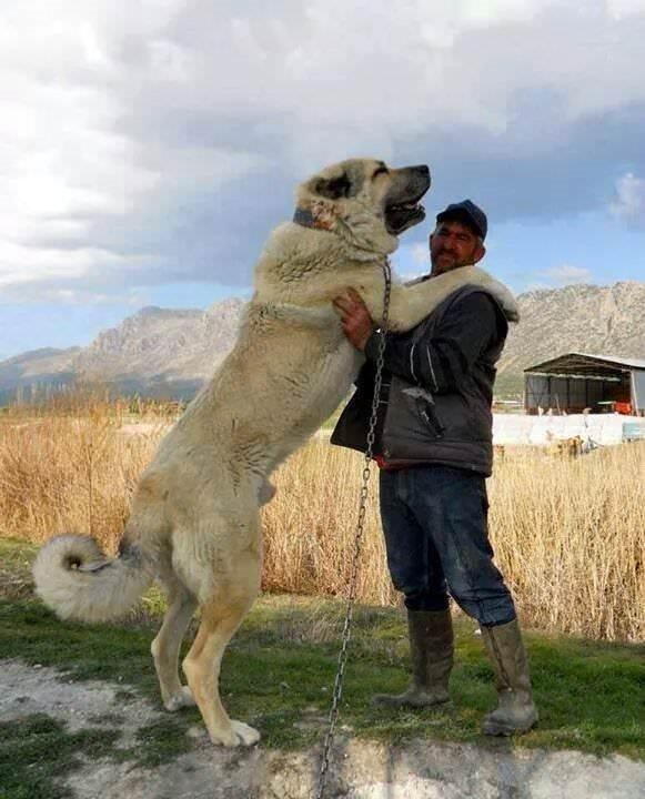 İşte muhteşem köpek ırkı: Aksaray Malaklısı