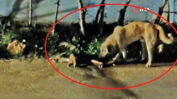 Adana'da yürek burkan görüntü! Sokak köpeği ölen arkadaşını kaldırmak için böyle uğraştı | Video