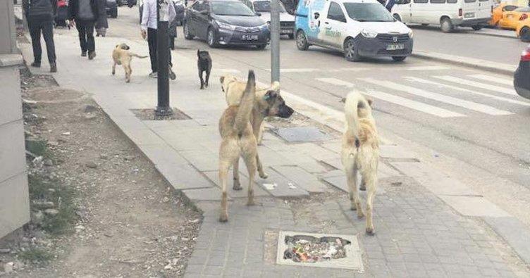 Köpek çeteleri sokak ve caddeleri sardı