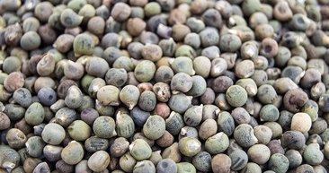 Bamya tohumu faydalarıyla şaşırtıyor! İşte bamya tohumunun mucizevi faydaları