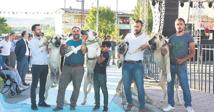 Kangal festivalinde sahne hayvan dostlarımızın