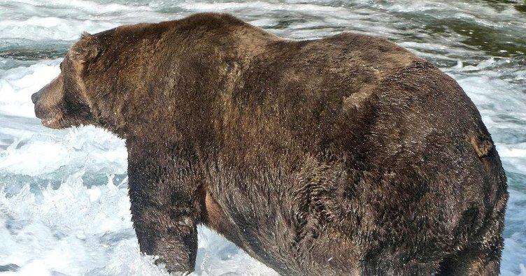 Alaska'nın en şişman ayısı
