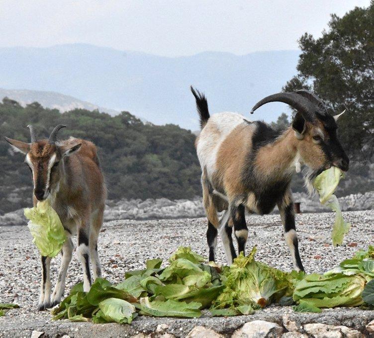 Bu adanın sahibi keçiler!