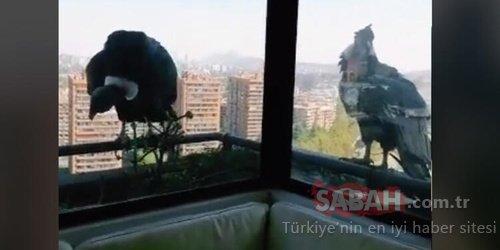 Pencerede kabus var!.. Akbabalar av peşine düştü