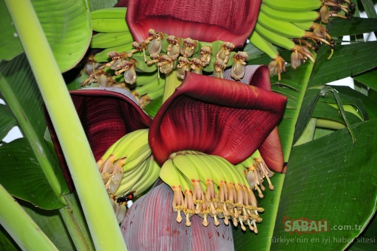 Meğer şifa o meyvenin çiçeğindeymiş... Şeker hastalığından kansere kadar her derde deva!