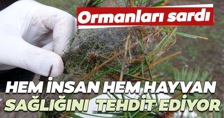İstanbul ormanlarında çam kese böceği alarmı... Hem insan hem hayvan sağlığını tehdit ediyor