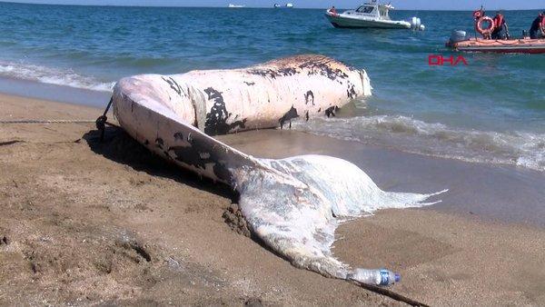 Mersin'de kıyıya vuran 10 metre boyundaki balina kamerada!