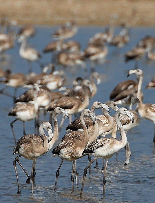 İzmir Kuş Cenneti yavru flamingolarla şenlendi