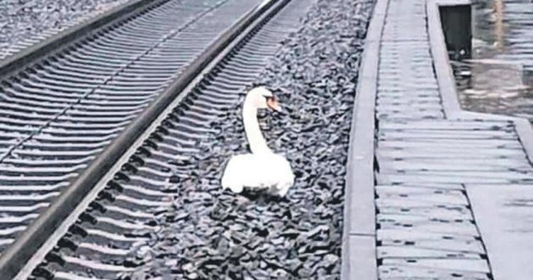Eşinin yasını tutan kuğu tren seferlerini aksattı