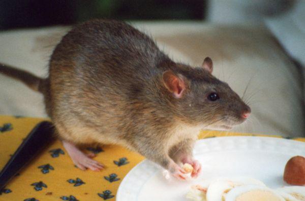 O insanlar fare yiyordu (Damak tadı neden değişti?)