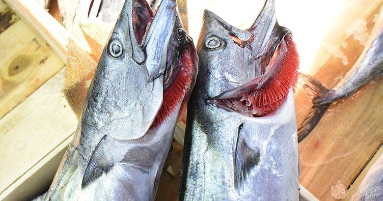 Palamut balıkçının yüzünü güldürüyor