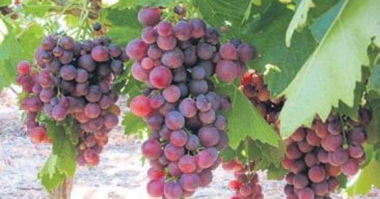 Sofralık üzümler hasadını bekliyor
