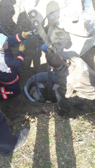 Silivri'de rögara düşen danayı bakın nasıl kurtardılar