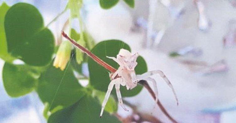 İnsan yüzlü örümcek hayrete düşürdü
