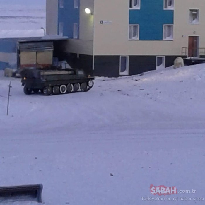 Rusya'da kutup ayıları nedeniyle ilan edilen 'acil durum' sürüyor