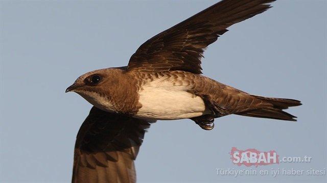Hatay'da Ebabil kuşu bulundu