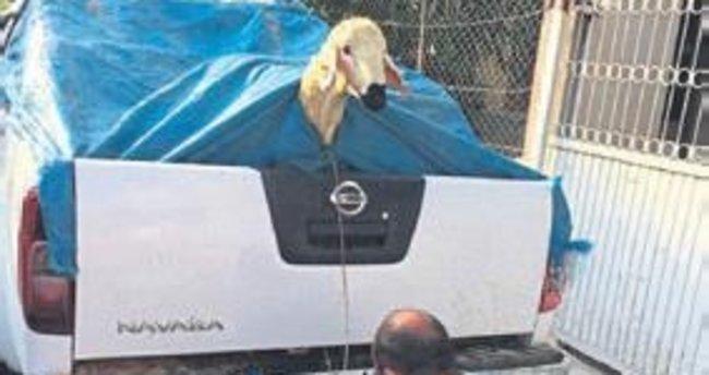 Melih ABİ: Kurbanlık koyun itina ile taşınır