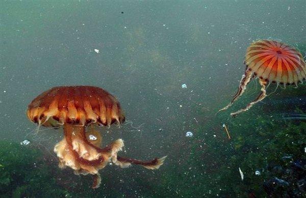 Zehirli denizanası alarmı