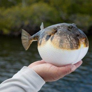 Balon balığı hangi bölgelerde bulunur, insana saldırır mı? Balon balığı zehirlenmesi belirtileri nelerdir?