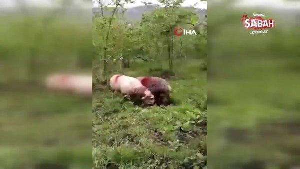 Koçların fındık bahçesindeki kavgası böyle görüntülendi