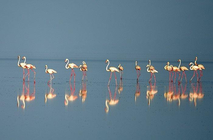 Tuz Gölü'nde 'flamingo kreşi'