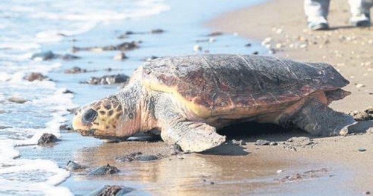 Ergene: Deniz kaplumbağaları canavar değildir