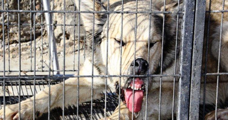 Bayburt merkezine inen kurt yakalandı