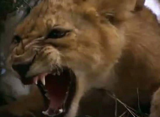 Aslan pitona karşı