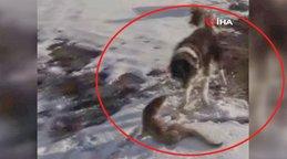 Ardahan'da köpeklerin parçalamaya çalıştığı su samuru son anda böyle kurtuldu