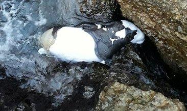 Antalya'da yavru Akdeniz foku ölü bulundu