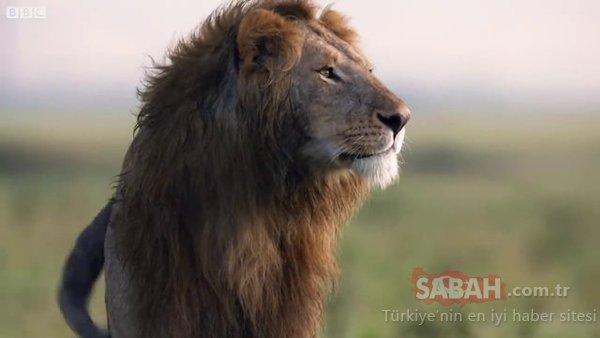 Vahşi doğada inanılmaz anlar! Aslan öldürülmeyi bekliyordu ki...