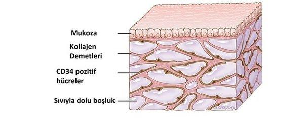 İnsan vücudunda yeni bir organ bulundu!