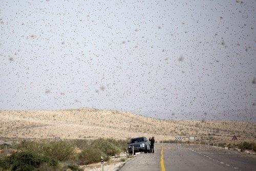 İsrail'e çekirge istilası
