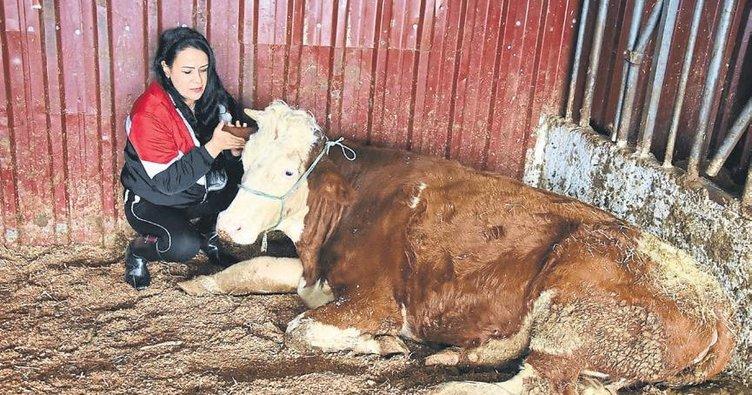 Enkazdan çıkarılan ineklere rehabilite