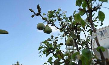Ekim ayında çiçek açıp, meyve veren armut ağacı şaşırttı!