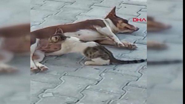 Antalya'da üç yavru kediye annelik yapan 'Max' isimli köpek kamerada | Video
