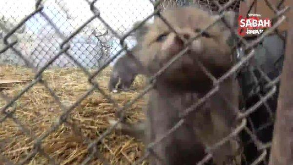 Tilki yavrularının sevimli halleri kameralara yansıdı | Video