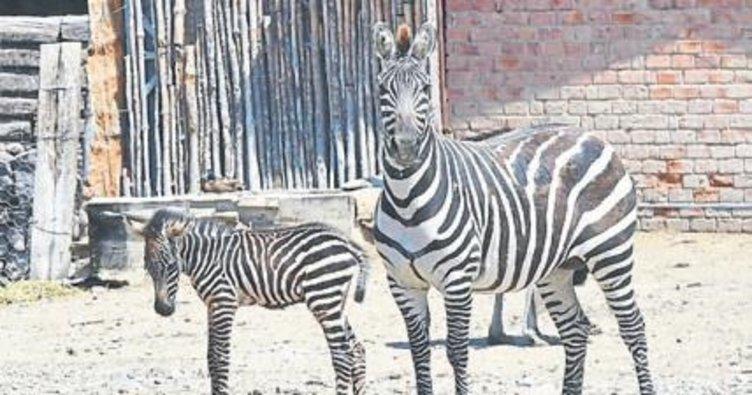 Zebra ailesinin yeni üyesi Meliş