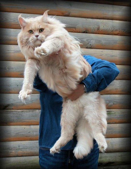Fazlasıyla büyük kediler!