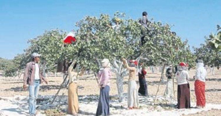 7.7 milyon fıstık ağacı 50 bin ton fıstık verecek