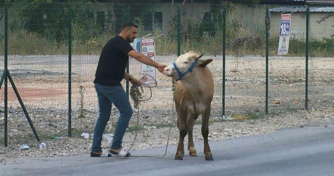 Bursa'da ilginç görüntüler! Boğa kaçtı onlar kovaladı