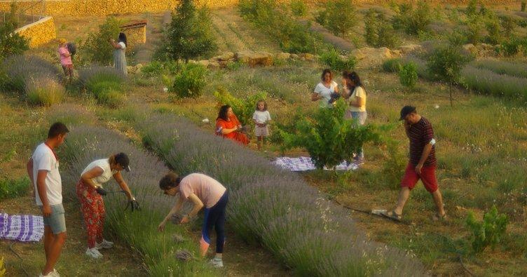 Öğrencilere burs olan lavantalar hasat edildi