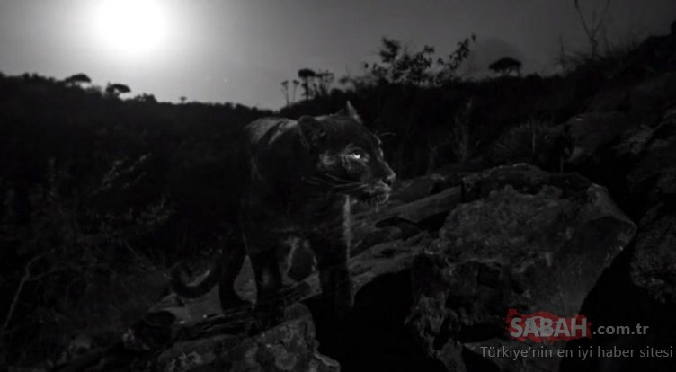 Siyah leopar 100 yıl sonra görüntülendi
