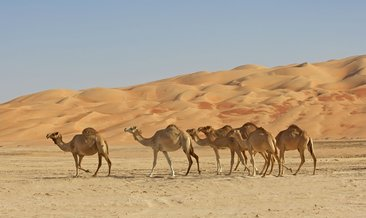 Rüyada deve görmek ne anlama gelir?