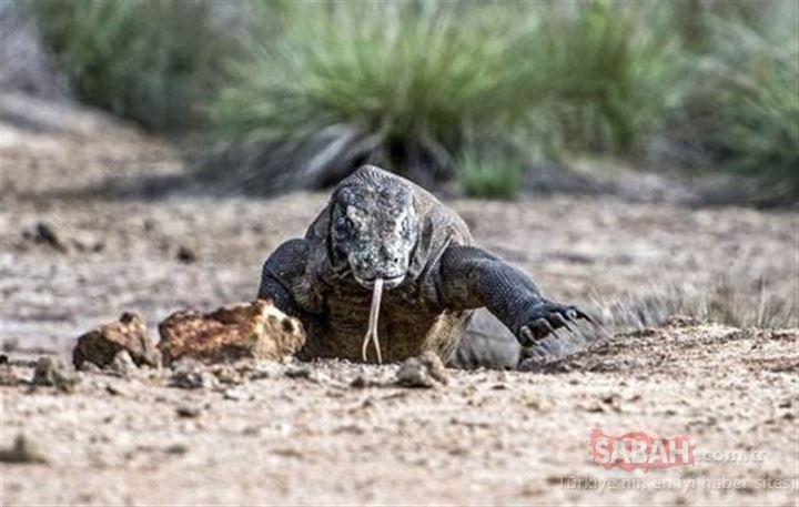 Doğanın vahşi yüzü! Yaşayan ejderha olarak bilinen Komodo Ejderi...