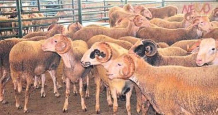 Koyun sayısı ithalatla artacak