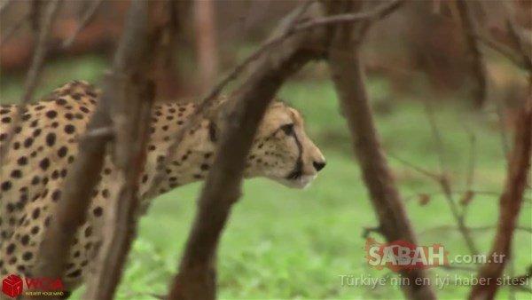 Anne zürafa aslan ile karşılaşınca...