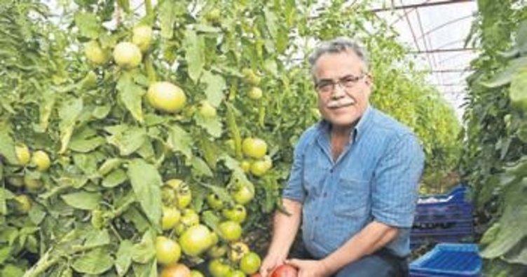 Raf ömrü uzun domates üretildi