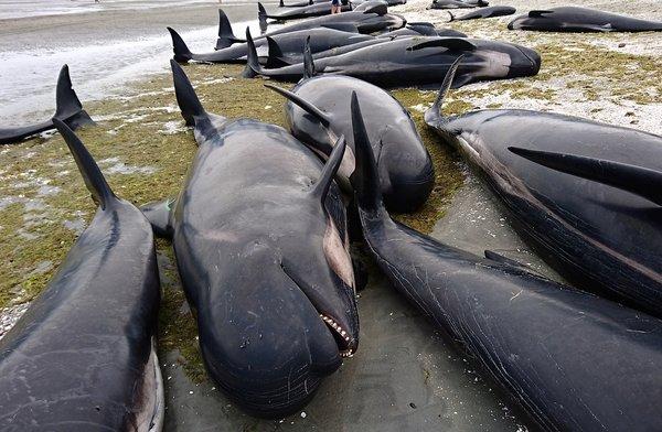 Yeni Zelanda'da yüzlerce balina telef oldu